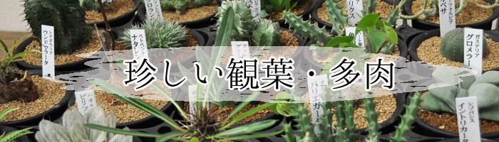 珍しい多肉植物シリーズ