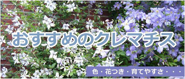おすすめクレマチス さいじょう緑花