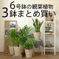 6号3鉢まとめ買い