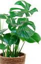 写真:送料無料、鉢カバー付観葉植物