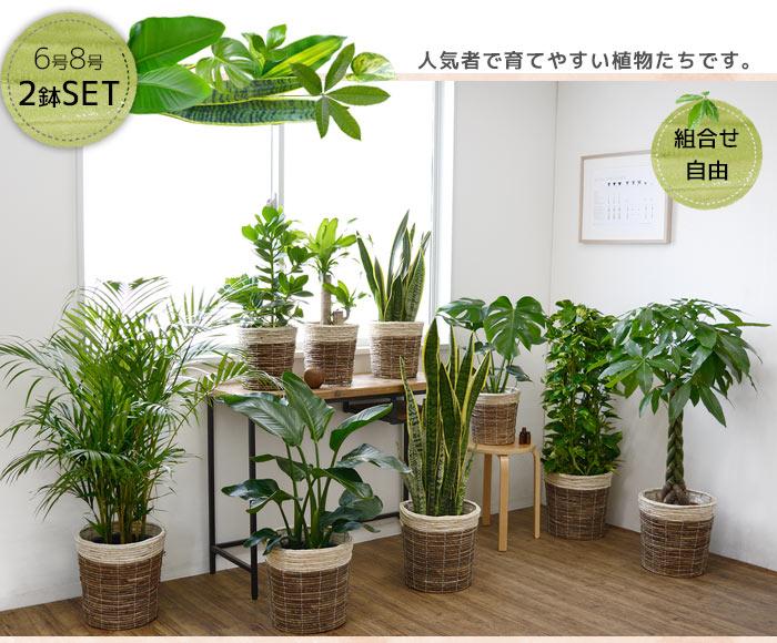 観葉植物選べる2鉢セット