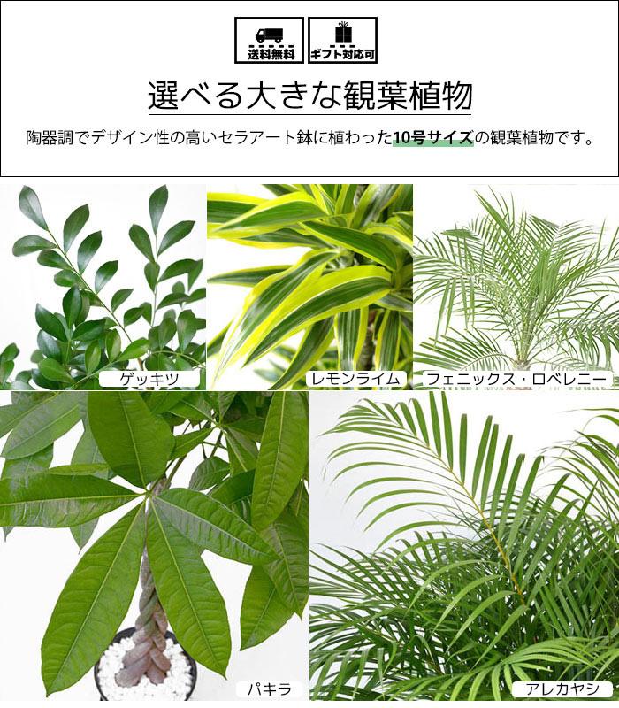 選べるセラアート鉢10号植物