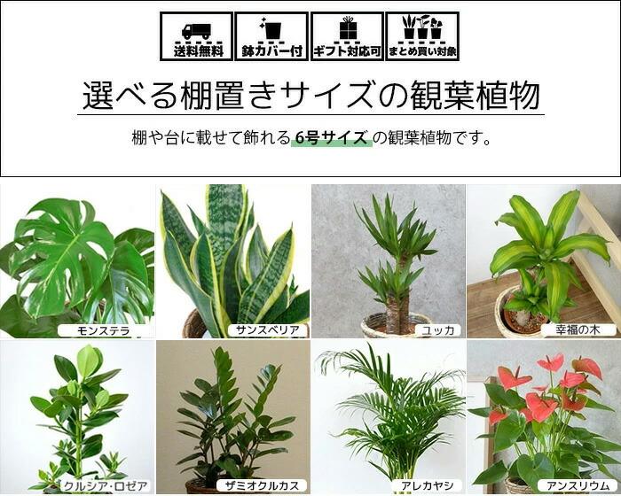 選べる6号観葉植物