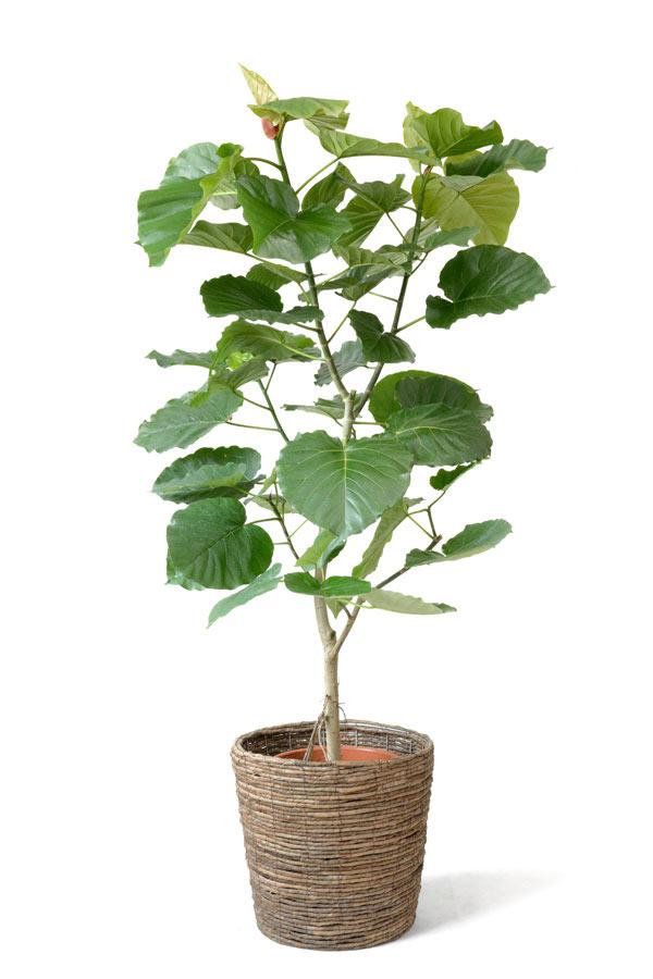 【アジアン】 【観葉植物】 フィカス・バーガンディ 手頃な大きさ8号鉢 「クロゴム」 観葉植物 【インテリア】 別名 フィカス属 敬老の日