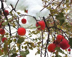 雪が降る季節に収穫されるふじりんご