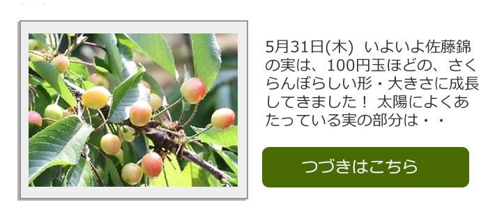 さくらんぼ生育日記