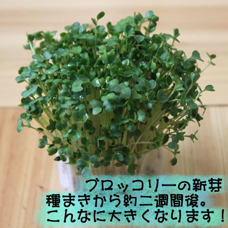 ブロッコリーの新芽・約二週間でこんなに大きく育ちます。