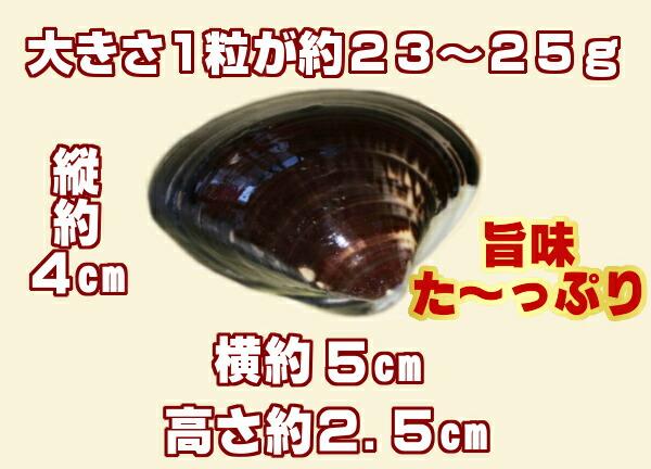熊本県有明海産【天然地物活はまぐり】1キロ入り一粒23から25グラム、35から43個のお届けとなります。