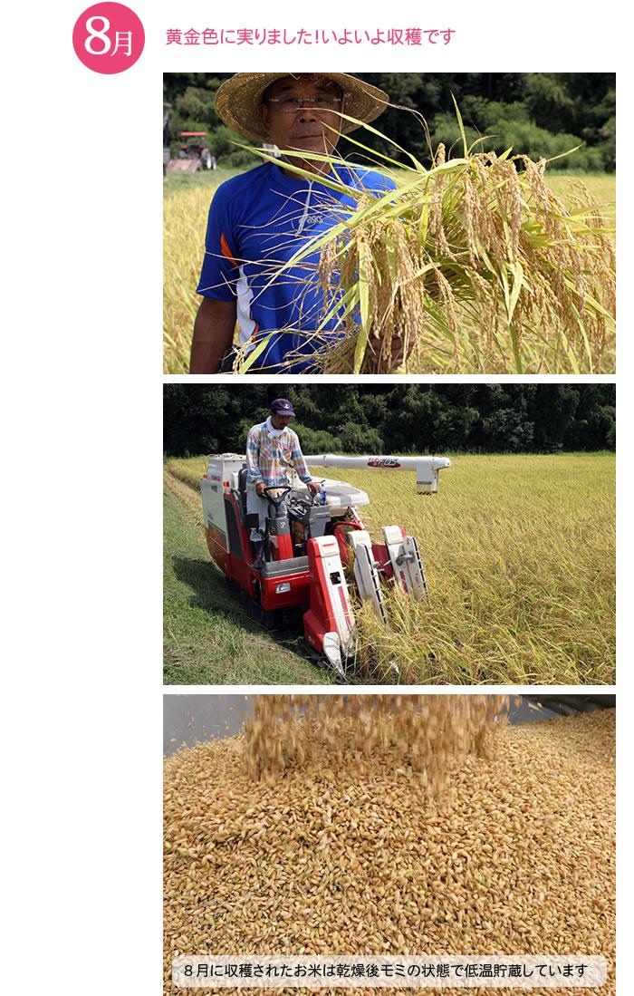 8月 稲刈り