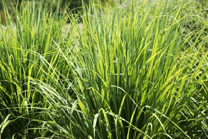 有機オーガニックの無農薬・無化学肥料ハーブ 「高原のレモングラス」