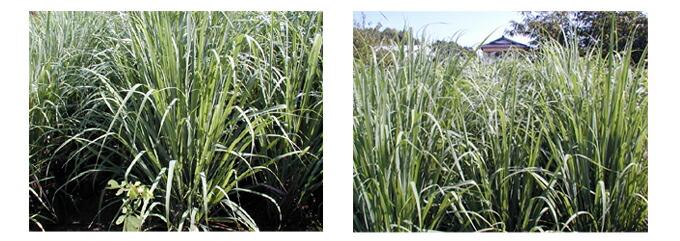有機オーガニックの無農薬・無化学肥料ハーブ 「高原のカモミール」