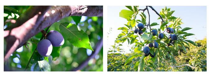 有機栽培オーガニックドライフルーツ 無農薬・無化学肥料ドライプルーン風景