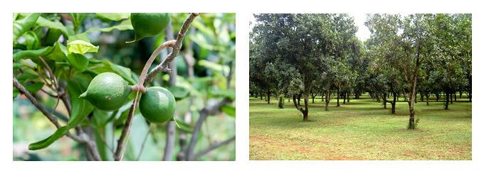 有機栽培オーガニックハーブ 無農薬 無化学肥料 マカダミアナッツ風景