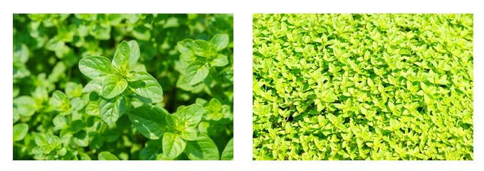 有機栽培オーガニックハーブ 無農薬 無化学肥料 オレガノ風景