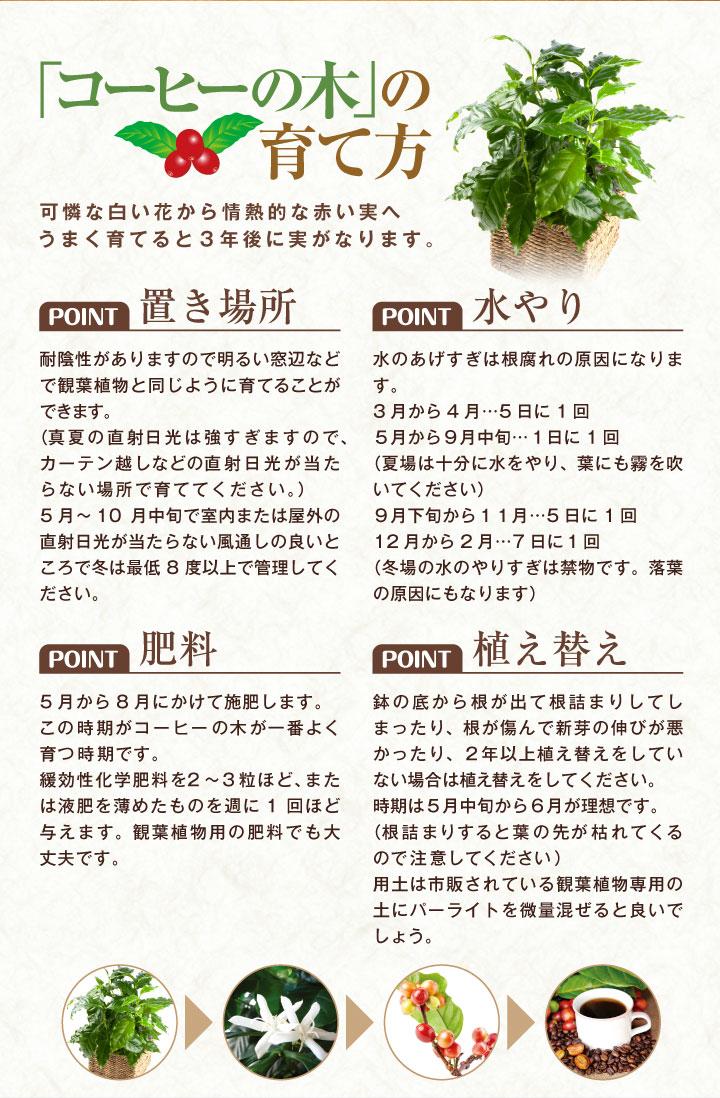 コーヒーの木の育て方