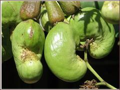 果実の外側になる種