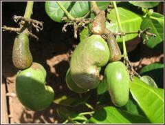 タンザニアのカシューナッツの品質