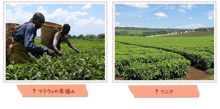 アフリカの紅茶