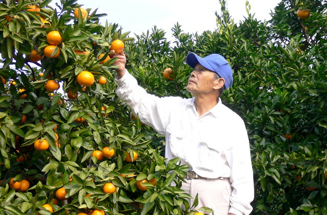低農薬・有機肥料栽培の三ヶ日みかん