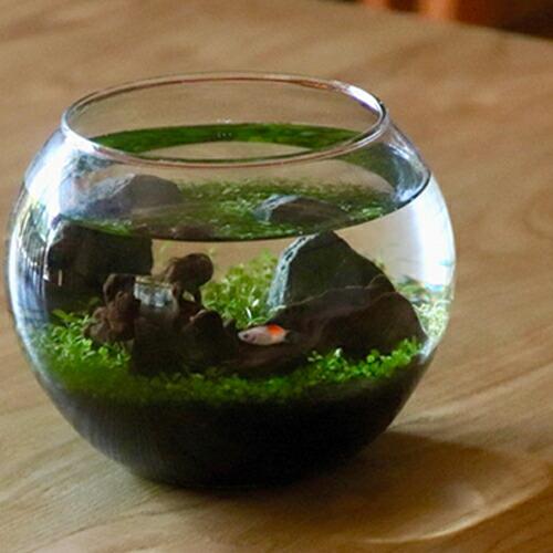 レイアウト自由 アクアリウム 種から 育てる水草 Lサイズ
