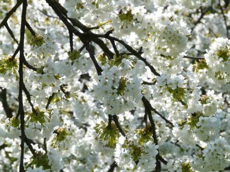 Kirsebærgrene