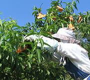 4.美しい白桃になるための大イベント袋かけ