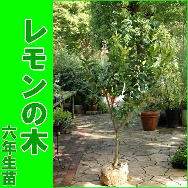 レモン の 木