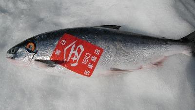 幻の鮭と言われる鮭児の中でも最高級の羅臼産です