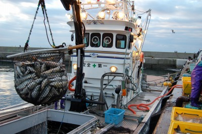 羅臼秋鮭漁は8月下旬から始まりますが、大量遡上に第一波は9月上旬になりそれに合わせてすべての定置網が稼働を始めます。羅臼港は早朝から秋鮭に溢れかえります。