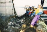 北海道知床羅臼の鮭鮭漁は8月下旬に始まります。鮭の遡上の第一波は9月上旬になります。それに合わせてすべての定置網が稼働を始め羅臼港は鮭で溢れかえるようになります。