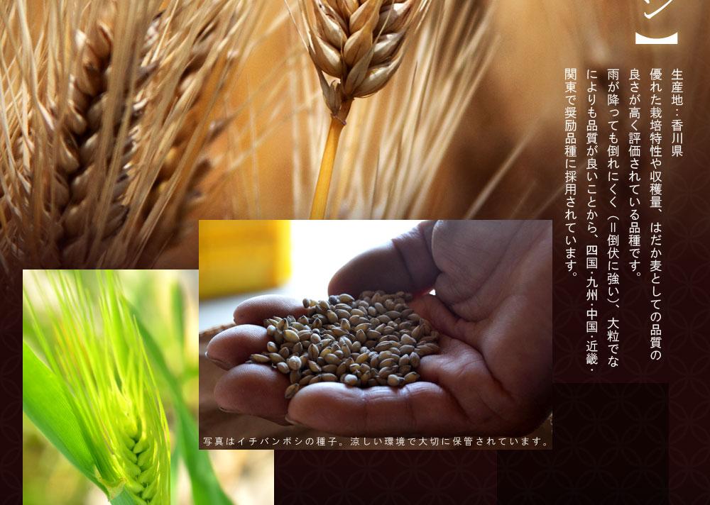 香川の高品質な麦