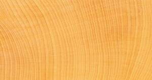 巨木を証明する美しい木目