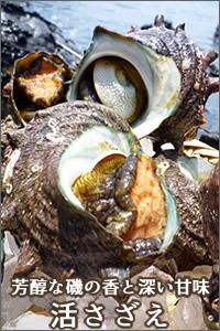 日本海の荒波で育つ鳥取産活さざえ
