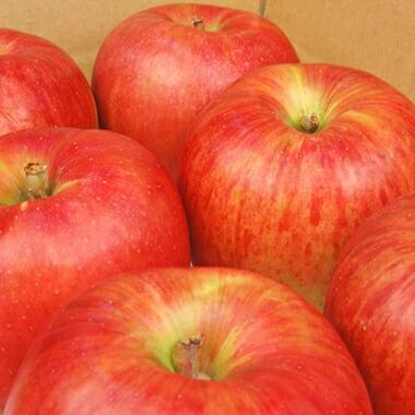 長野または青森産りんご「サンつがる」