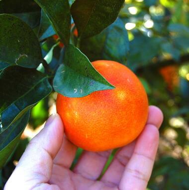 ブラットオレンジ手持ち