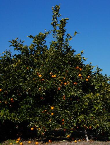ブラットオレンジ木