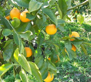 ブラッドオレンジの木の写真