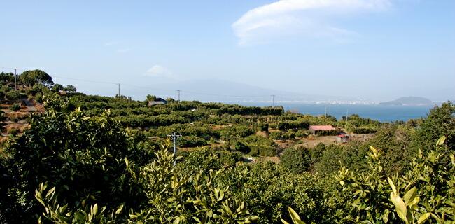 静岡県西浦地区みかん畑の写真