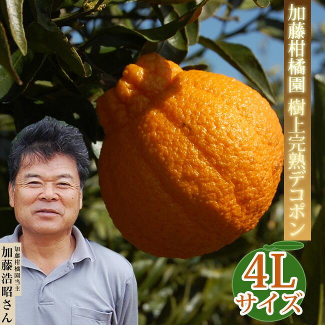 加藤柑橘園樹上完熟デコポン