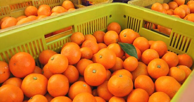 【加藤柑橘園】の三ヶ日みかんはサイズが不揃いのため、みかんを並べてお詰めしておりません。
