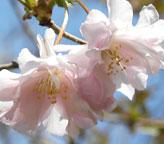 フリルのような花弁が可憐な桜「オシドリ桜」の販売