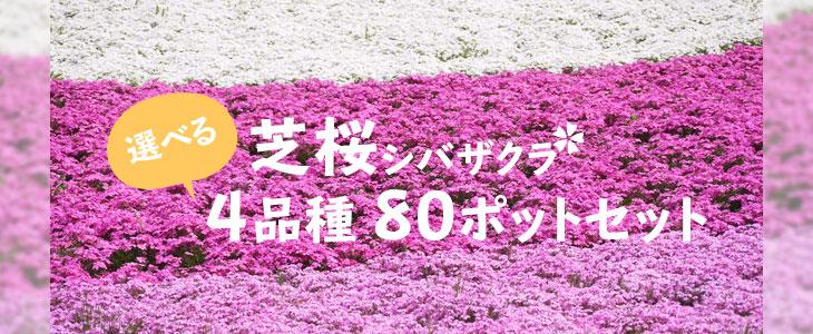 「選べる芝桜80ポットセット」の販売