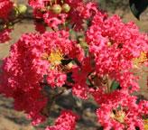 サルスベリ「タスカローラ」は豪華で真っ赤な花を咲かせます!