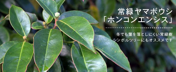 常緑ヤマボウシ「ホンコンエンシス」の販売