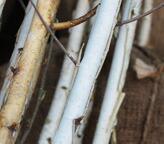 白い幹はだが美しい白樺「ジャクモンティー」の販売