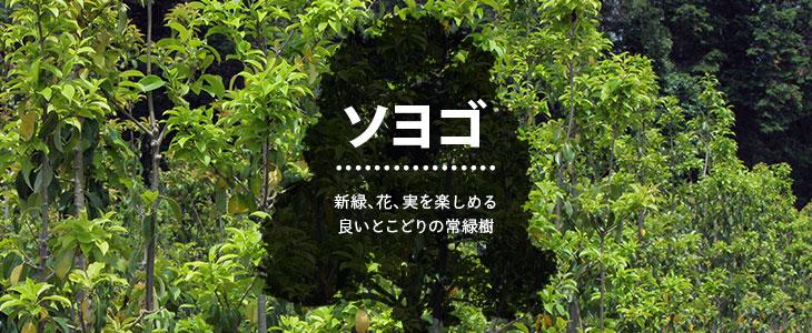 シンボルツリーや目隠しにもオススメ「ソヨゴ」の販売