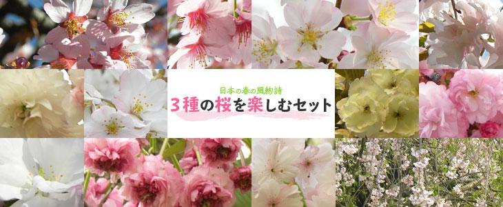 桜「3種の桜を楽しむセット」の販売
