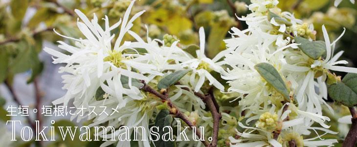 「トキワマンサク 青葉白花」の販売