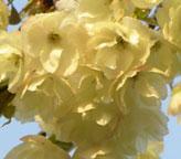 桜「鬱金」の販売