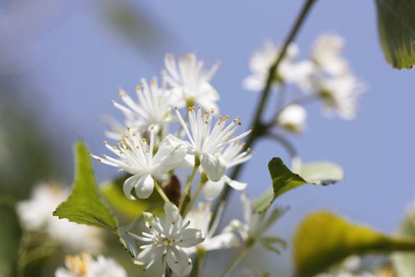 ハイノキの楚々とした美しい白い花